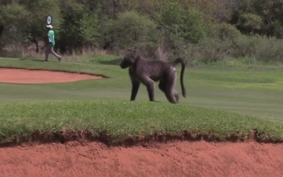 baboon on course luke donald